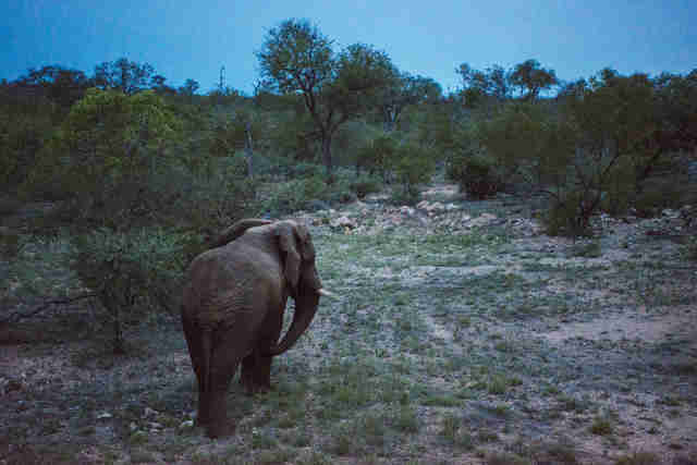 Elephant standing in the African savannah