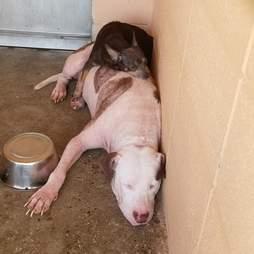 Bonded dogs sleep together at animal shelter