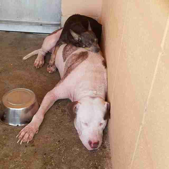 Bonded dogs sleep together at animal shelter