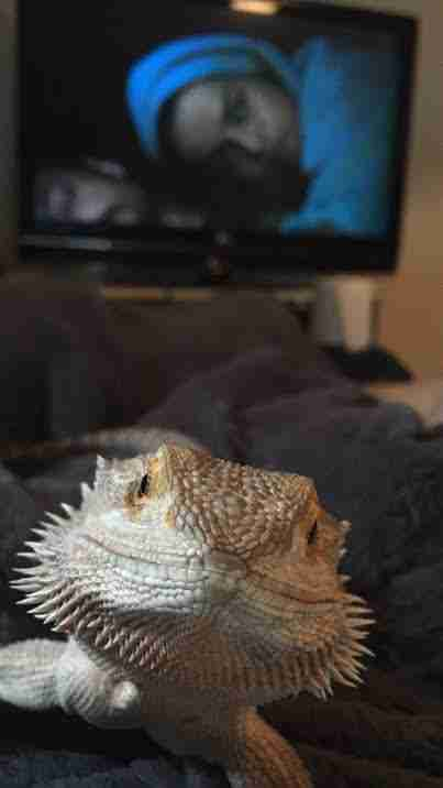 bearded dragon sleeping blanket
