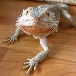 bearded dragon scotland