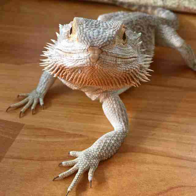 bearded dragon scotland
