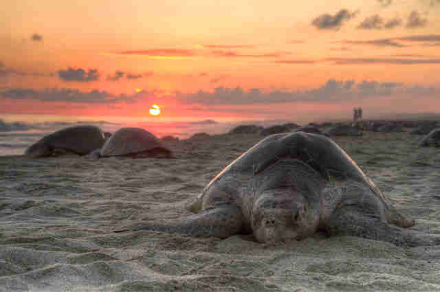 Olive ridley turtle on a beach in southern Mexico