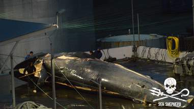 Workers cutting up dead whale