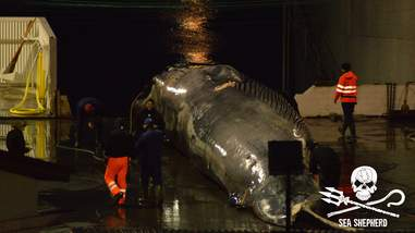Rare hybrid whale at Icelandic whaling station