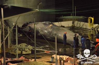 Body of rare hybrid whale being at whaling station