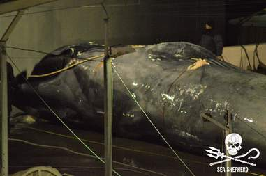 Rare blue whale hybrid at whaling station