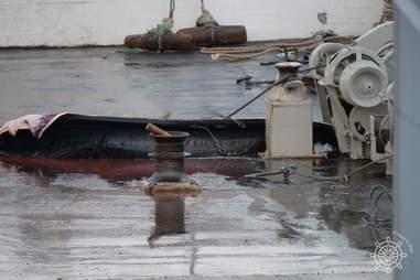 Baleen of dead hybrid whale