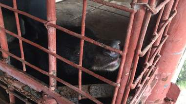 Bear in cage at bile farm in Vietnam
