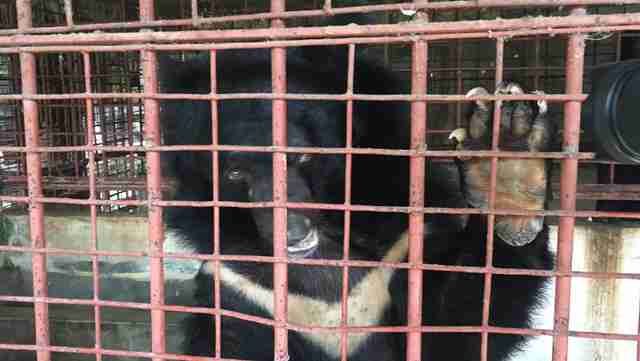 Moon bear placing paw on cage