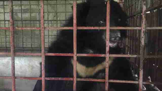 Moon bear in cage at bile farm