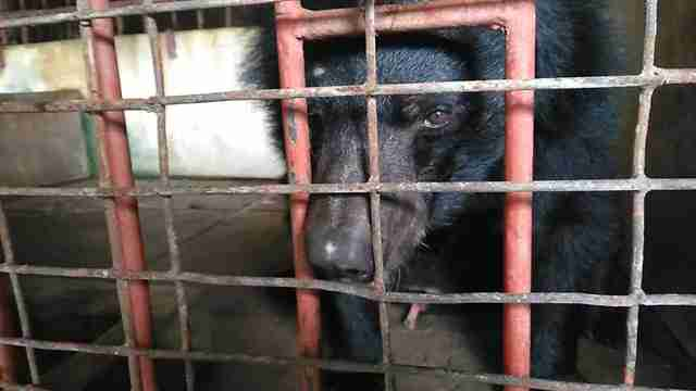 Bile bear inside cage in Vietnam