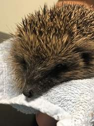 dog saves hedgehog