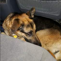 dog rescue german shepherd