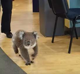 Wild koala wanders into an Australian pharmacy