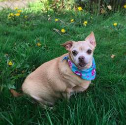 chihuahua weighed 19 pounds