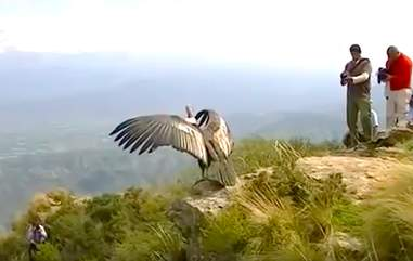 """Condor """"thanks"""" rescuers before flying back to the wild"""