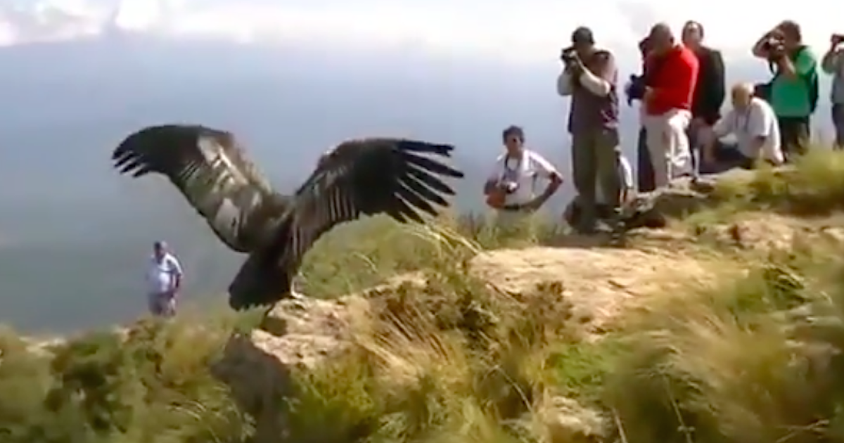 Condor Thanks Rescuers Before Flying Back To The Wild The Dodo