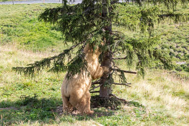 Rescued circus bear exploring tree in Swiss sanctuary