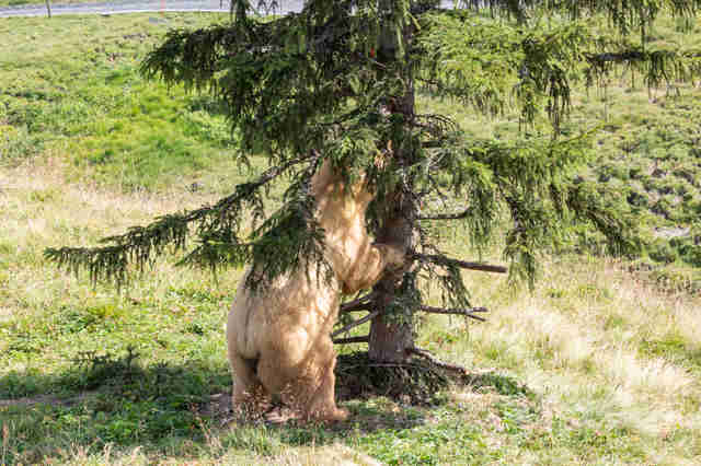 Rescued circus bear exploring tree in Swiss sanctuary