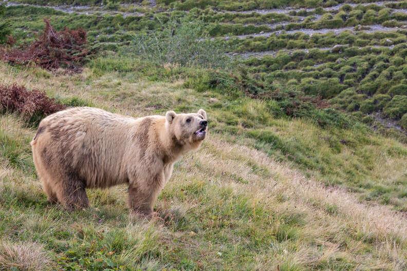 Ex-circus bear Napa enjoying his home at Switzerland sanctuary