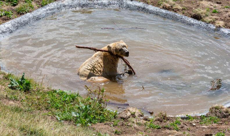 Ex-circus bear Napa enjoying his personal pool in Switzerland sanctuary