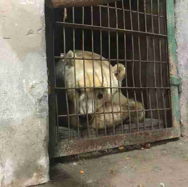 Ex-circus bear at zoo in Serbia before rescue