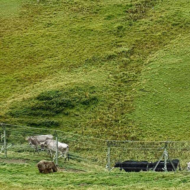 Rescued circus bear meeting some cow neighbors in Switzerland