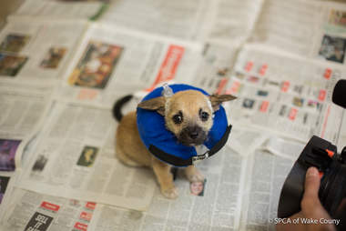 Nash the deaf puppy healing at the SPCA of Wake County