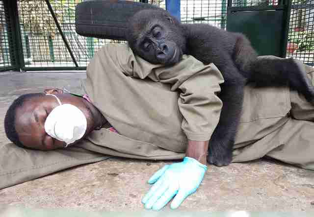 Orphaned gorilla saved from traffickers in Cameroon snuggles with rescuer