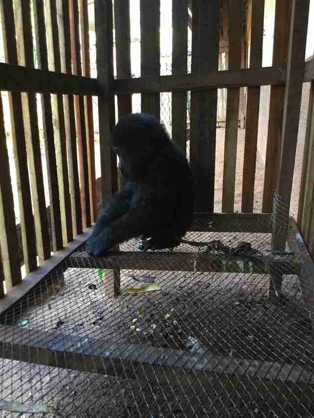 Orphaned gorilla found in wooden crate in Cameroon