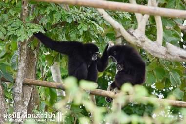gibbon rescue thailand