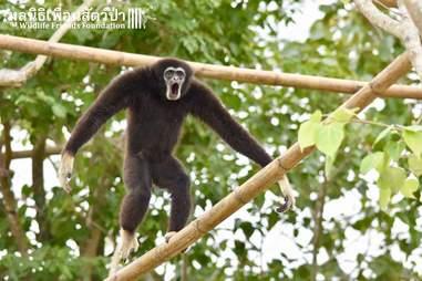 gibbon rescue thailand release