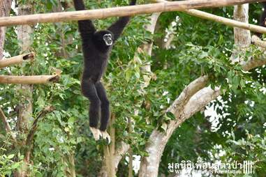 gibbon rescue thailand