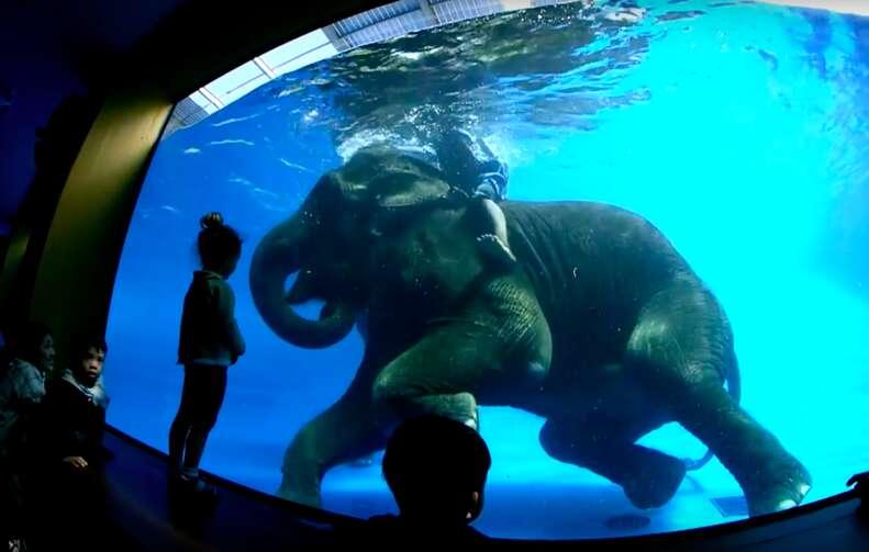 elephant swimming tank thailand