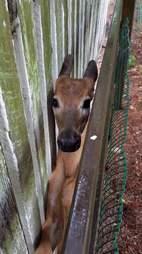 Deer stuck between two fences in Ohio