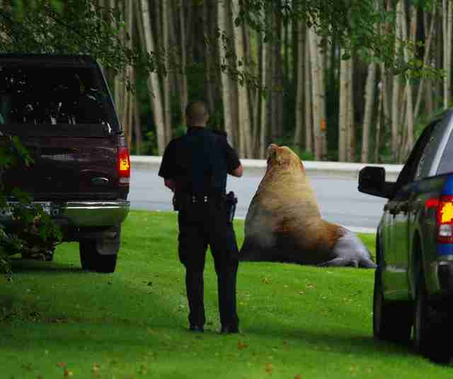 Police coming to help lost sea lion in Alaska