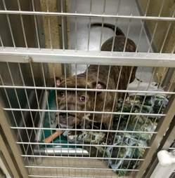 dog rescue pit bull new york