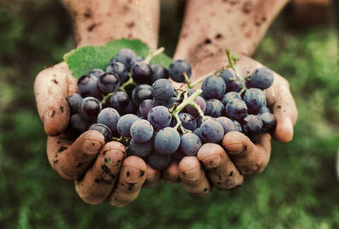 dirty hands holding grapes