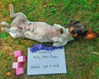 Molly the dachshund's gender reveal photoshoot