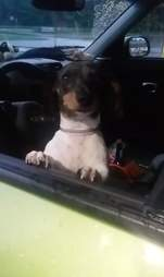 Molly the dachshund abandoned in SPCA parking lot