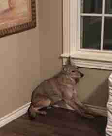 Wild coyote timidly crouched in Oklahoma woman's bedroom