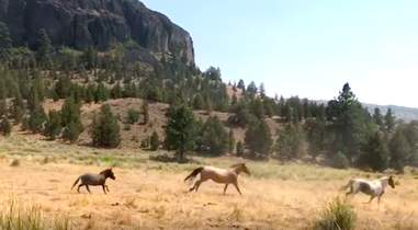 Mini hinny leading group of wild mustangs