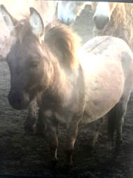 Mini hinny saved from kill pen in Texas