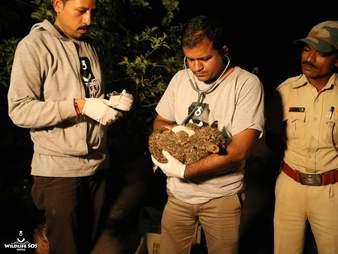 Vet examining leopard cub