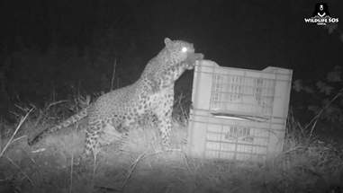 Mother leopard cub pawing at box