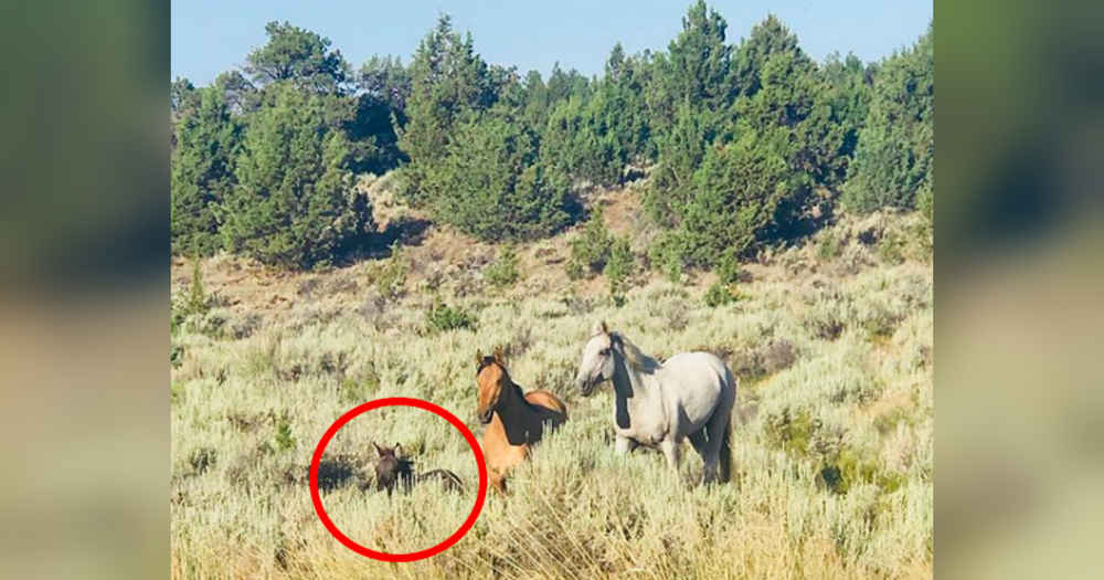Very Tiny Animal Joins A Herd Of Wild Horses