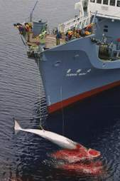 Dead whale harpooned by whalers