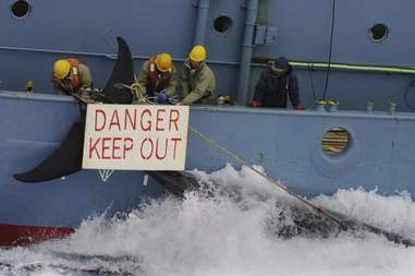 Whalers hauling in dead whale