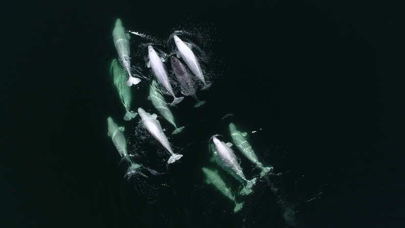 Narwhal spotted swimming with group of wild beluga friends